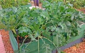 Thriving Kale